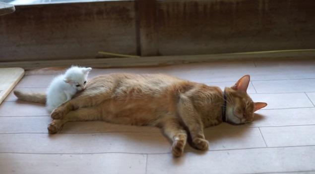 成猫に寄り添う白猫
