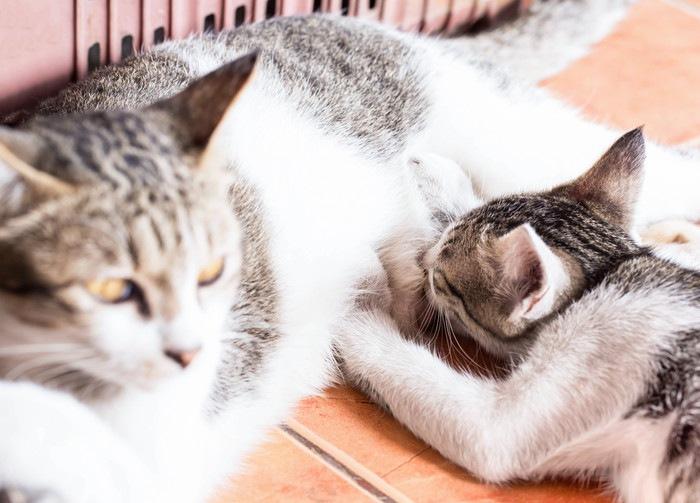 授乳する母猫