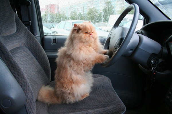 猫ドライバー