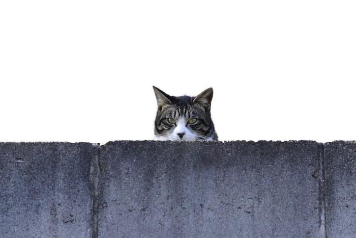 コンクリートの壁からこちらを覗く猫