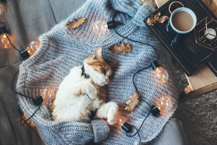 飼い主の服の上で眠る首輪を付けた猫