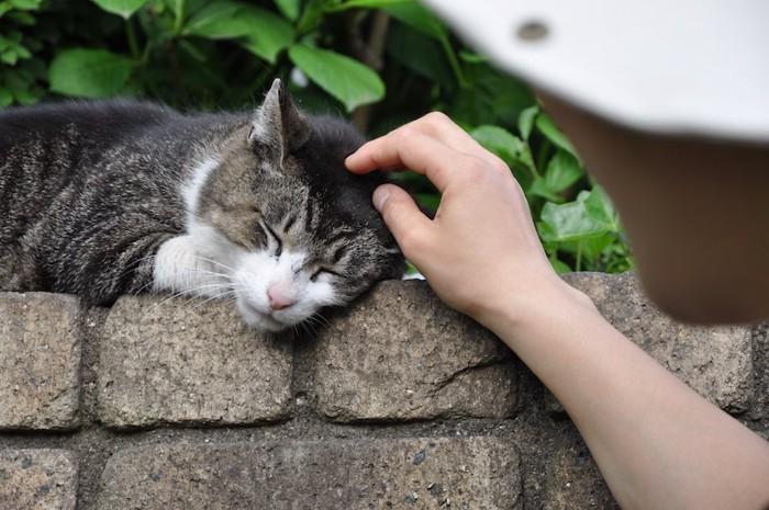 人に撫でられて嬉しそうな青島の野良猫