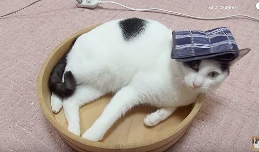 頭にハンカチを乗せる猫
