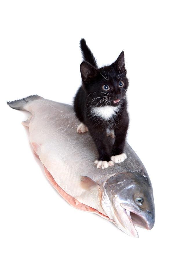 鮭に乗る子猫