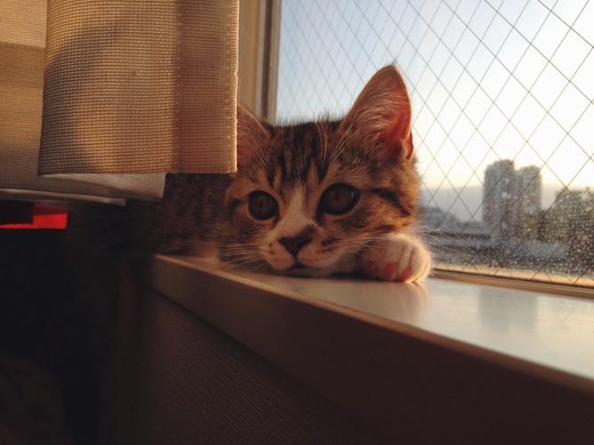 窓際のマンチカン