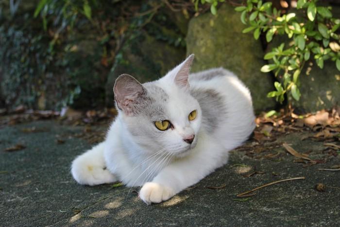 白ベースのグレートビの猫