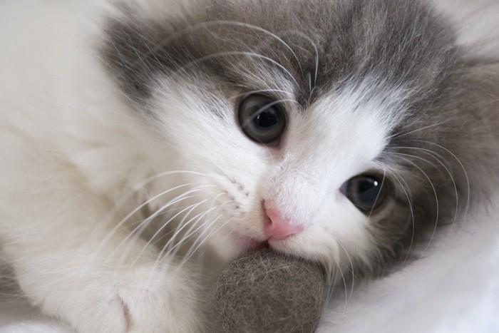 毛玉ボールで遊ぶ子猫アップ