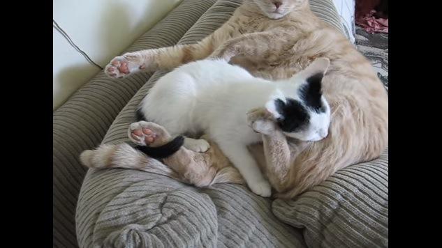 成猫の脚を噛む子猫