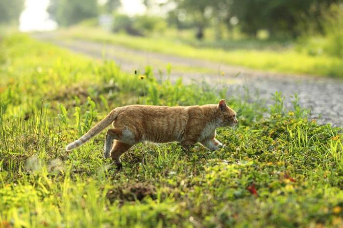 歩く野良猫