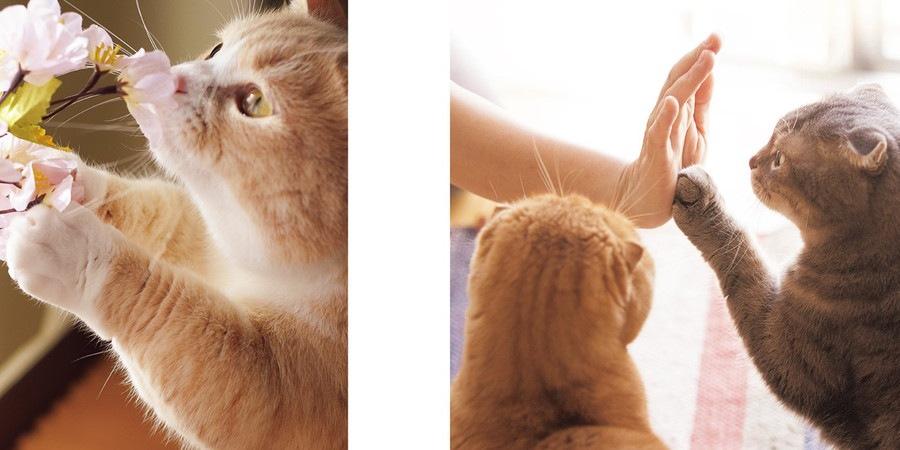 ねこのおてて写真集の桜と猫