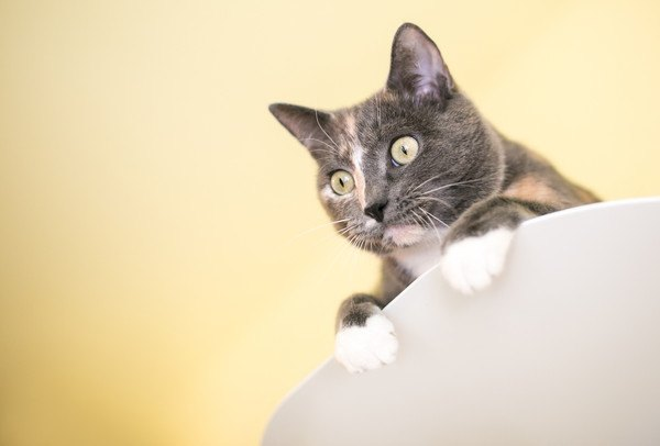 見つめる灰色の猫