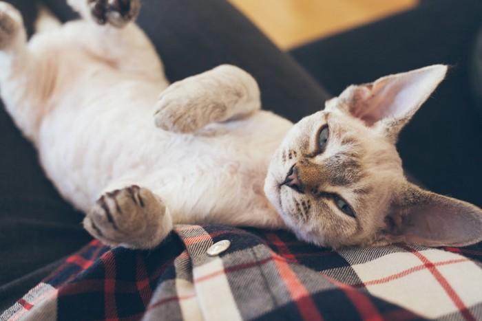 膝で甘えている猫