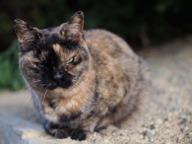 こちらを睨んでいるサビ猫