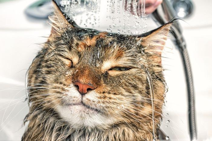 シャワーを浴びる猫