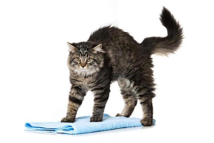 興奮して起こっている猫とタオル