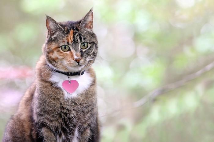 ピンクのハートの迷子札を付けた猫