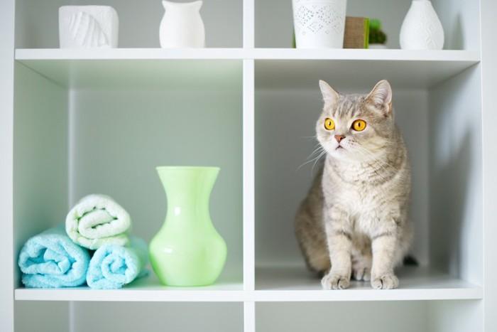 棚の間に入って座る猫