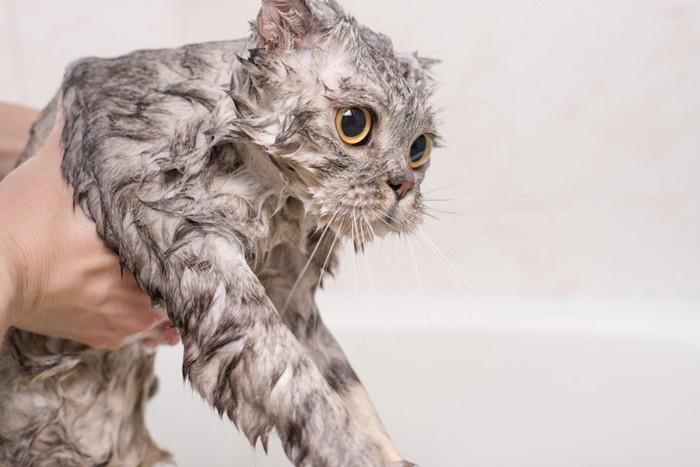 びしょ濡れになってしまった猫