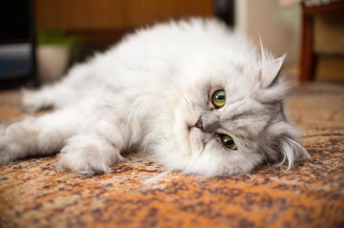 床に横たわるペルシャ猫