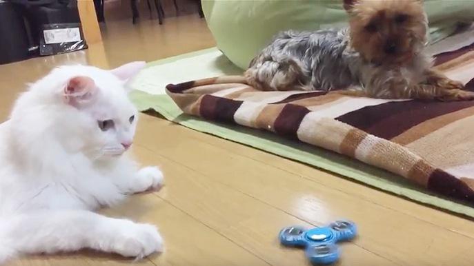 ハンドスピナーを見つめる猫