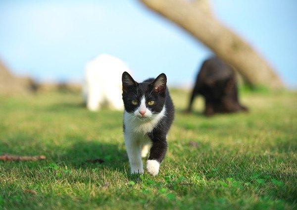 向かってくる黒と白の猫