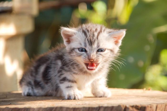 切り株の上で鳴いている子猫