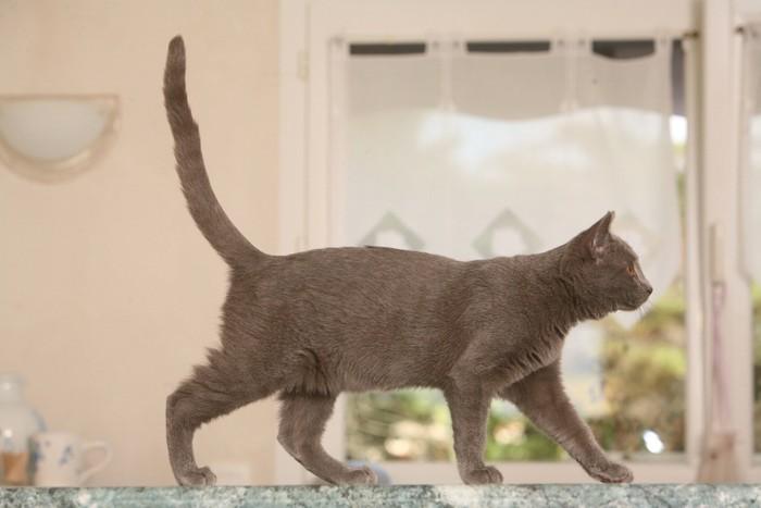 尻尾を上げて歩く猫
