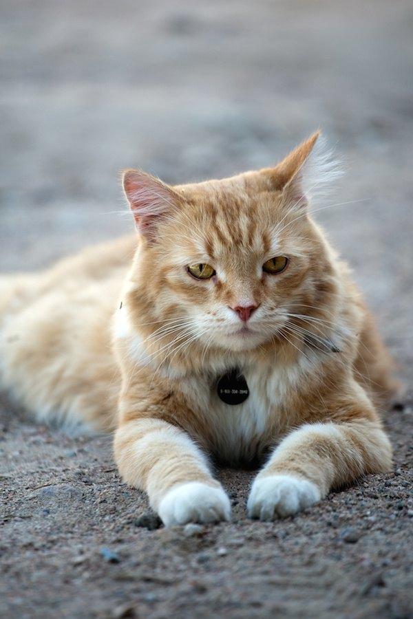 姓名判断のため名札の付いた首輪をした猫