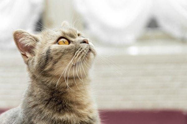 見上げるキジ猫