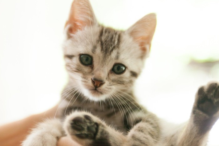 抱かれているアメリカンショートヘアの子猫