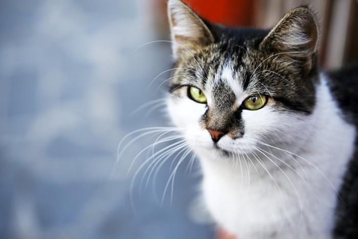 遠くを見ている猫