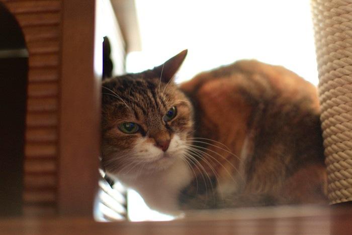こちらを見るまん丸な老猫