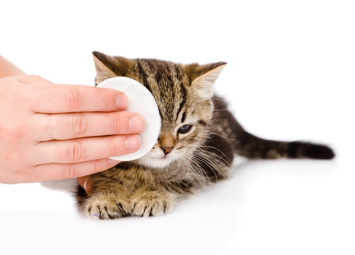 目を拭かれている猫