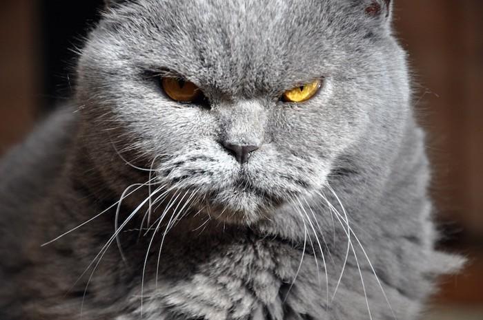 こちらを睨むグレーの猫