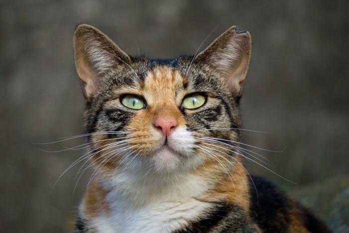 耳をカットした三毛猫