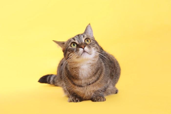 うずくまり上を見上げる猫
