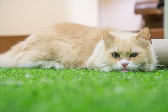 人工芝の上のマンチカン