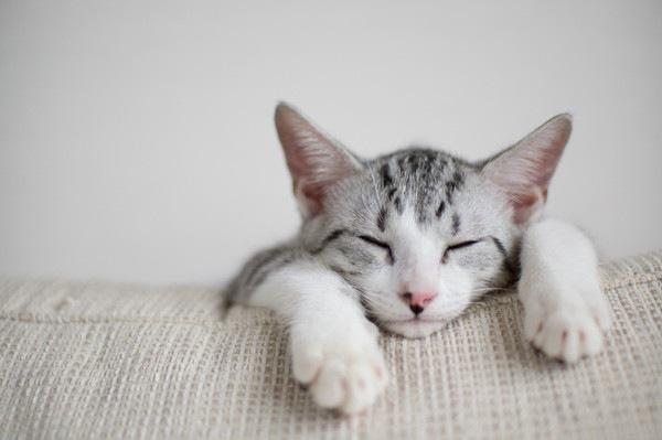 ソファの上で目を閉じているサバ白のアップ