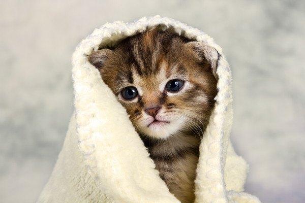 タオルを被る子猫