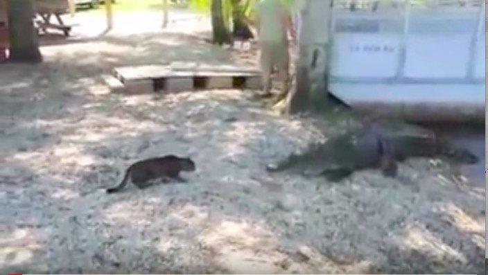 ワニと対峙する猫