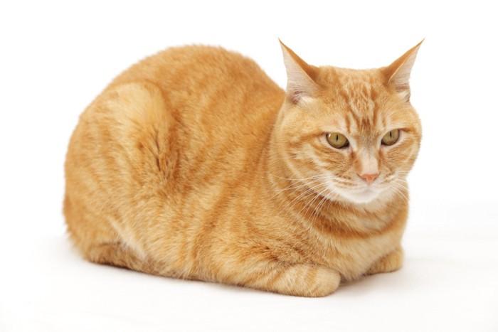 香箱座りをする茶トラ猫