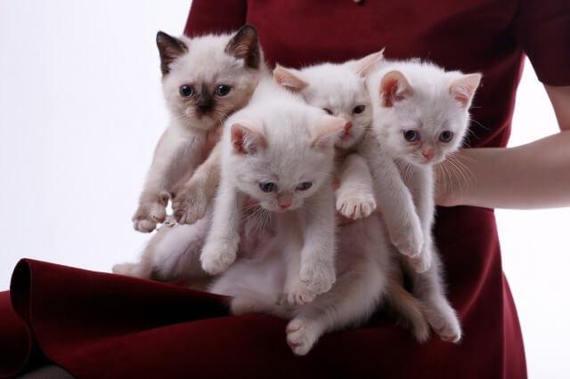 ペルシャ猫の仔猫たちを抱いているブリーダー
