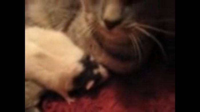 爆睡しているネズミ