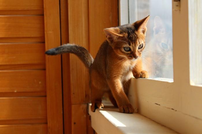 窓際のアビシニアンの子猫