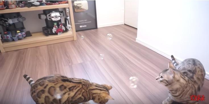 シャボン玉を見つめる猫