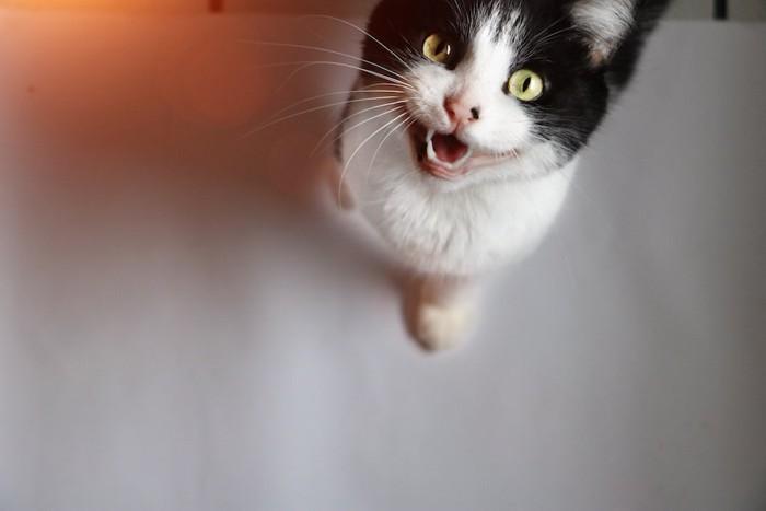 こちらを見上げて鳴いて訴える猫
