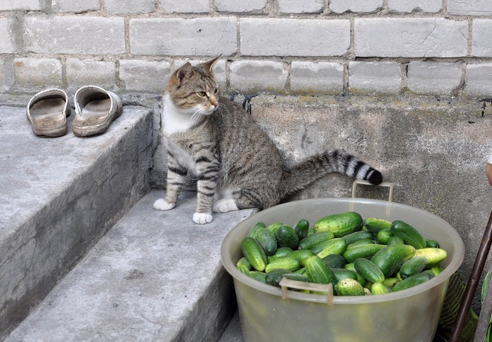 きゅうりと子猫