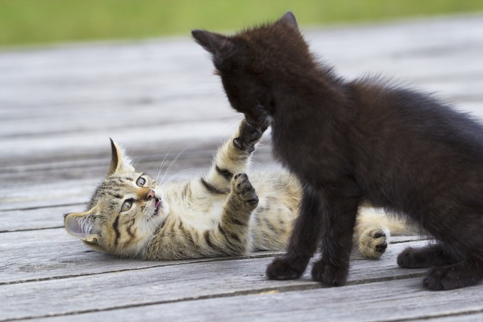 じゃれあう二匹の子猫