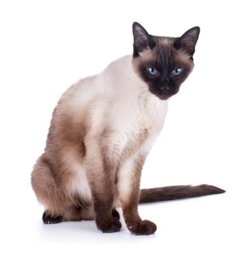 目を細めるシャム猫