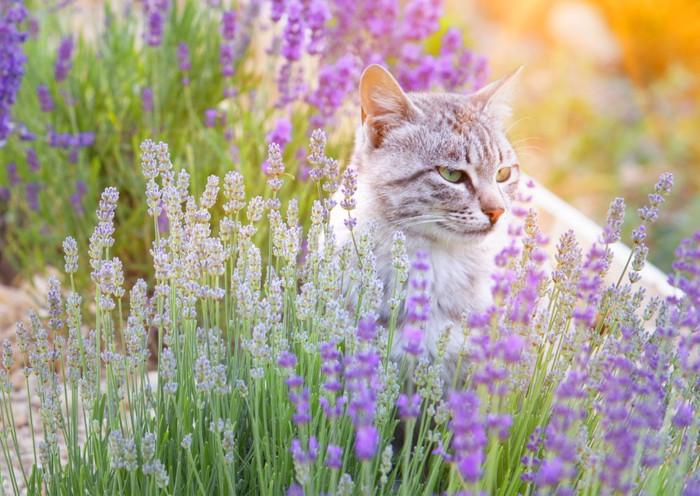 ラベンダー畑で遠くを見ている猫